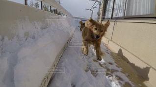 No.461901 #雪の日  #飛んでる  #ペット  #散歩  #楽しい