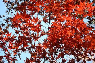 燃えるような紅葉🍁の写真・画像素材[1640059]