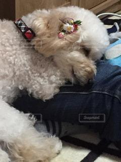 犬,ペット,寝顔,トイプードル,お疲れ,アプリコット,おヒザ,散歩後