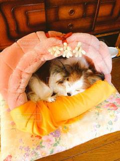 犬,ペット,寝顔,パピヨン,お昼寝