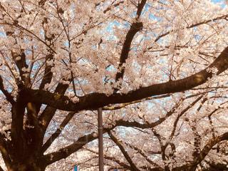 春,桜,屋外,ピンク,鮮やか