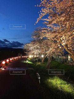 桜の写真・画像素材[466048]