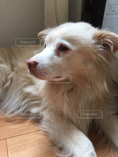茶色と白犬の写真・画像素材[873472]