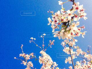 青空と桜の写真・画像素材[1136055]