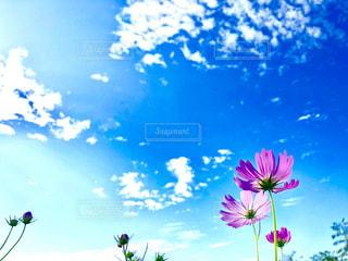 花,コスモス,カラフル,雲,青空,青,秋桜,秋空