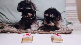 犬,ケーキ,ミニチュアシュナウザー,待て,2匹,ミニケーキ,お預け