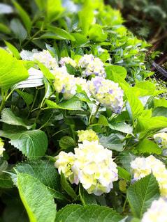 梅雨  紫陽花の写真・画像素材[554049]