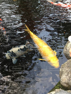 黄色,イエロー,鯉