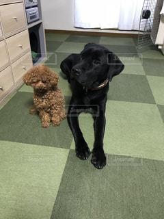 犬,屋内,トイプードル,ラブラドール,カーペット,黒色