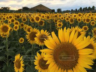 黄色の写真・画像素材[606515]