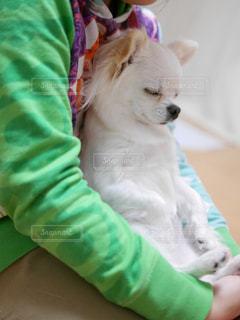 犬,ロングヘア,チワワ,ペット,寝顔,癒し,ベージュ,ホワイト,小型犬,0歳