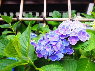 紫陽花の写真・画像素材[1122013]