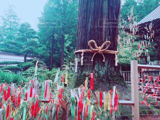人々の願いを見守る御神木の写真・画像素材[1287762]