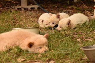 犬,動物,沖縄,癒し,柴犬,子犬,眠り