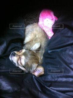 犬,チワワ,子供,寝顔,癒し,幸せ,ロングコート,夢心地,安眠,居心地