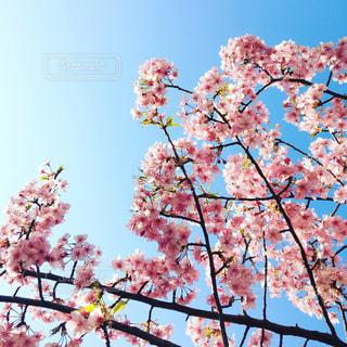 桜の写真・画像素材[410696]