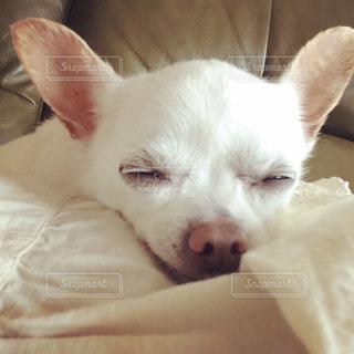 犬,チワワ,かわいい,寝顔,癒し,スムースコートチワワ,愛犬,すやすや,小型犬