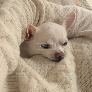 犬,チワワ,白,寝顔,スムースコートチワワ,愛犬,眠たい,小型犬,うとうと,寝そう