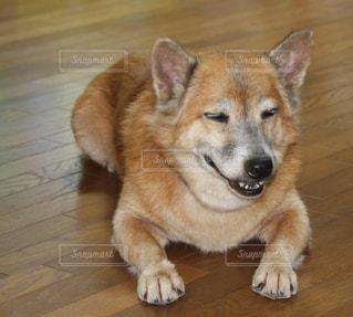 犬,癒し,笑顔,可愛い,雑種,ダックスフンド