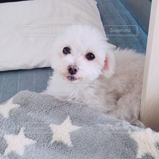 ベッドの上で横になっている大きな白い犬の写真・画像素材[874313]
