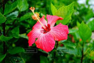 緑の葉と赤い花の写真・画像素材[919144]