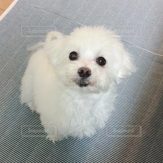 小さな白い犬の写真・画像素材[981219]