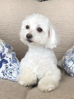地面に横になっている小さな白い犬の写真・画像素材[1186059]