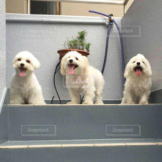 窓の外にぶら下がっている小さな白い犬の写真・画像素材[1188220]
