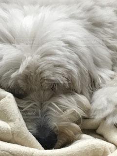 大型犬,オールドイングリッシュシープドッグ,オールドイングリッシュ,シープドッグ,OES