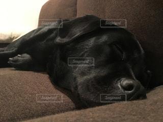 犬,ラブラドール,黒ラブ