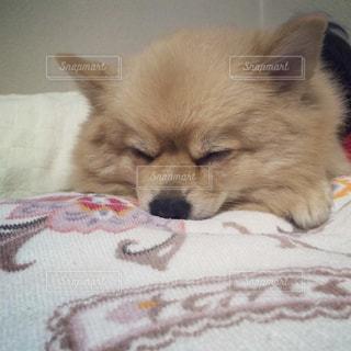 犬,動物,ポメラニアン,寝顔,わんこ,おやすみ,イヌ,ワンコ,zzz,ちま