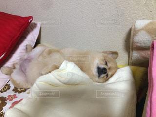 犬,動物,ポメラニアン,ペット,寝顔,わんこ,おやすみ,寝相,仰向け,イヌ,ワンコ,ちま