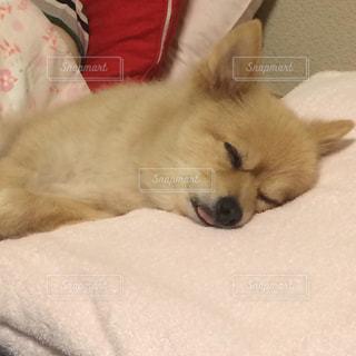 犬,動物,ポメラニアン,ペット,寝顔,わんこ,おやすみ,イヌ,ワンコ,スヤスヤ,zzz,べろ,ちま