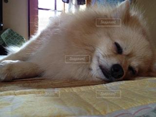 犬,ポメラニアン,ペット,寝顔,わんこ,おやすみ,イヌ,ワンコ,zzz