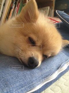 犬,動物,ポメラニアン,ペット,寝顔,わんこ,おやすみ,イヌ,ワンコ,zzz