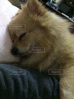 犬,動物,ポメラニアン,ペット,寝顔,わんこ,イヌ,ワンコ,zzz