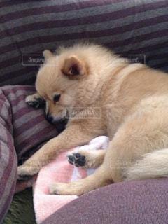 犬,動物,ポメラニアン,ペット,わんこ,おやすみ,イヌ,ワンコ,ちま