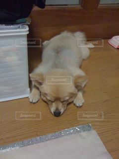 犬,動物,ポメラニアン,ペット,寝顔,わんこ,dog,小型犬,アニマル,animal,イヌ,ワンコ,zzz,ちま