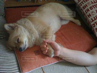 犬,動物,ポメラニアン,ペット,寝顔,わんこ,dog,おやすみ,小型犬,アニマル,animal,イヌ,ワンコ,zzz,ちま