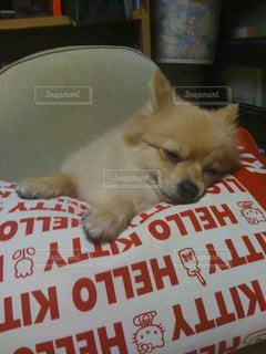 犬,動物,ポメラニアン,ペット,寝顔,わんこ,dog,おやすみ,小型犬,animal,イヌ,ワンコ,zzz,ちま