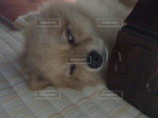 犬,動物,ポメラニアン,ペット,寝顔,わんこ,dog,小型犬,白目,animal,イヌ,ワンコ,zzz,ちま