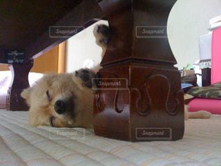 犬,動物,ポメラニアン,ペット,寝顔,わんこ,小型犬,イヌ,ポメ,zzz,ちま