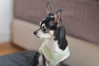チワワ,いぬ,スムースチワワ,小型犬,座敷犬
