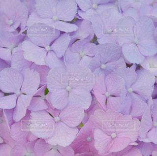 紫陽花の写真・画像素材[849245]