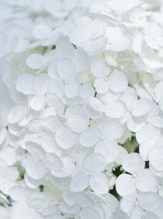 紫陽花の写真・画像素材[924058]