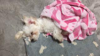 枕 眠る 犬,マルプー 眠る 犬