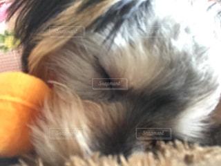 犬,寝顔,mix,ひなたぼっこ,ヨークシャー