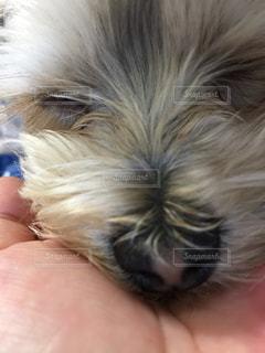 犬,寝顔,マルチーズ,mix,ひなたぼっこ,ヨークシャー