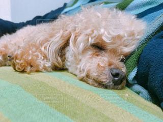 犬,寝顔,トイプードル,寝てる,小型犬