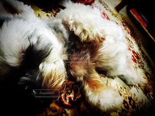 犬,寝顔,ミニチュワシュナウザー